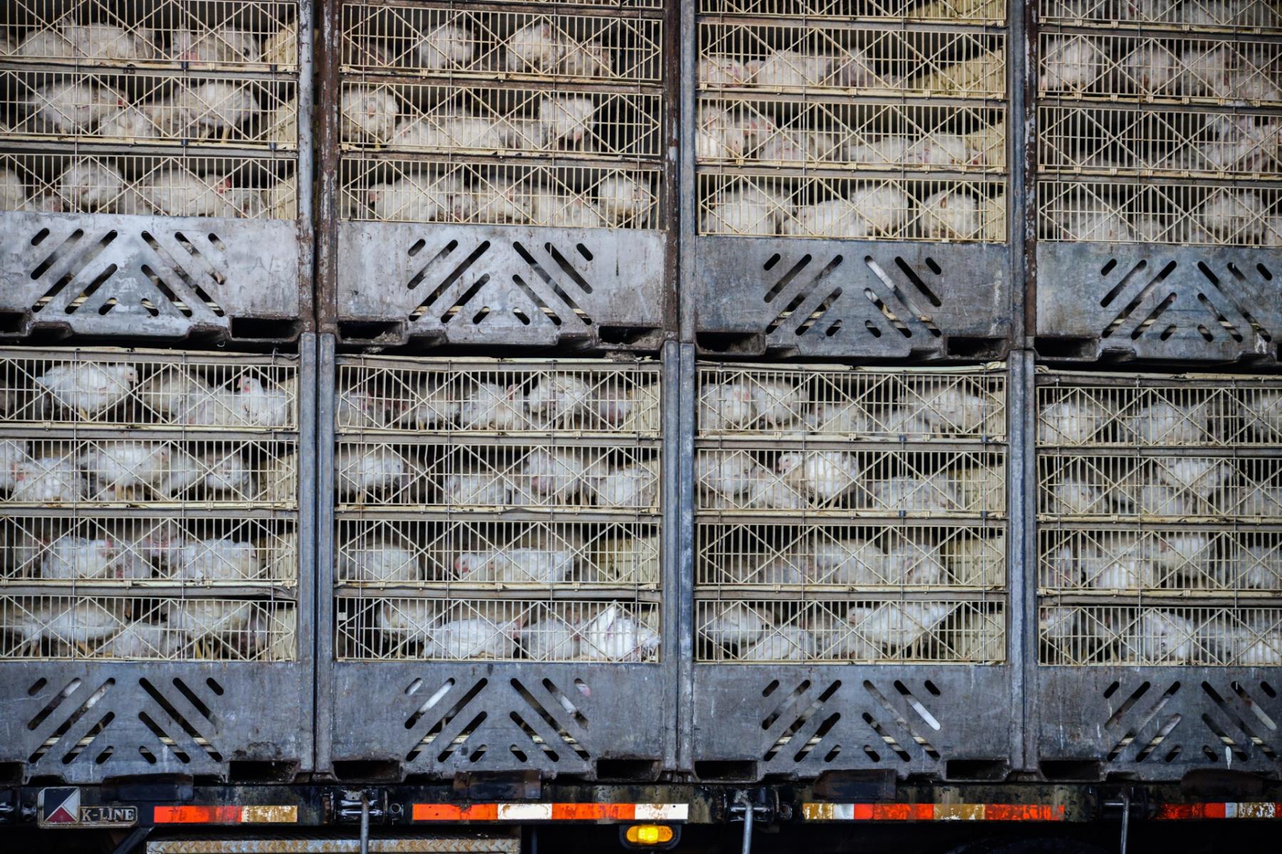 L'élevage intensif est l'un des principaux facteurs de risque pandémique. Que faire ?